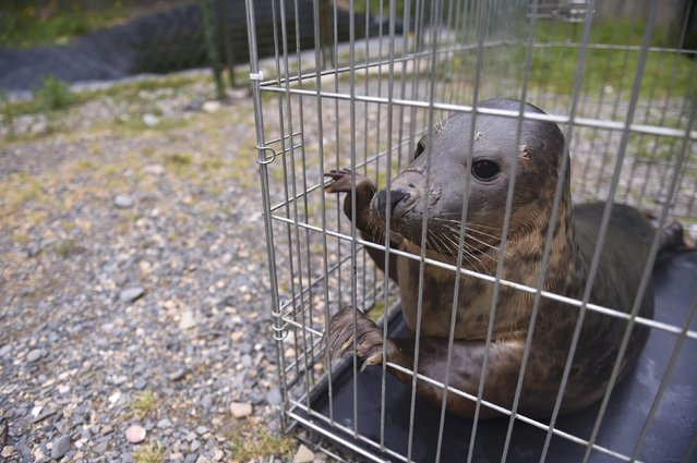A Common seal named Groot is prepared for release in a transfer cage at Seal Rescue Ireland wildlife sanctuary where two rescued and rehabilitated seals are released back into the sea after months of care in Wexford, Ireland, June 12, 2016. (Photo by Clodagh Kilcoyne/Reuters)