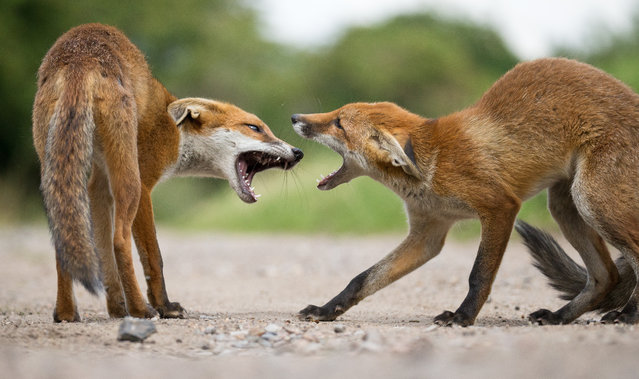 Four-month-old fox cubs squaring up to each other in Walthamstow, England on August 7, 2015. (Photo by Greg Morgan/Barcroft Media)
