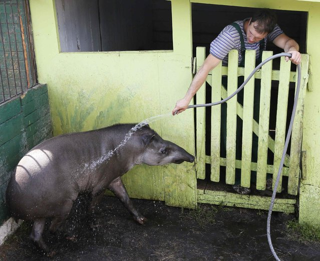 Valet, a male tapir, is given a shower by a zoo employee at the air temperature of 33 degrees Celsius (91 degrees Fahrenheit), in his enclosure at the Royev Ruchey zoo in Russia's Siberian city of Krasnoyarsk July 14, 2014. The Siberian city has been experiencing temperatures above 30 degrees Celsius over the last week. (Photo by Ilya Naymushin/Reuters)