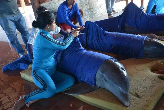 Handlers from the Cayo Guillermo dolphinarium prepare dolphins for their transfer to the dolphinarium in Cienfuegos, located on Cuba's southern coast, just hours before the arrival of Hurricane Irma, Friday, September 8, 2017. Irma spun along the northern coast of Cuba, where thousands of tourists were evacuated from low-lying keys off the coast dotted with all-inclusive resorts. (Photo by Osvaldo Gutierrez Gomez/ACN via AP Photo)