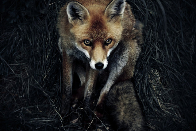 Alone in the Dark: The discovery of a local Fox den has resulted in some great photographic opportunities recently. A Red Fox in the twilight in Shepreth, England. (Photo by Sam Morris/National Geographic Photo Contest