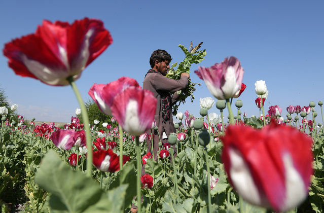 In this April 17, 2014, an Afghan farmer works on a poppy field collecting the green bulbs swollen with raw opium, the main ingredient in heroin, in the Khogyani district of Jalalabad, east of Kabul, Afghanistan. A joint survey by the Afghan government and the United Nation shows that the opium production in Afghanistan has increased by 87 percent in 2017, compared with 2016 levels. (Photo by Rahmat Gul/AP Photo)