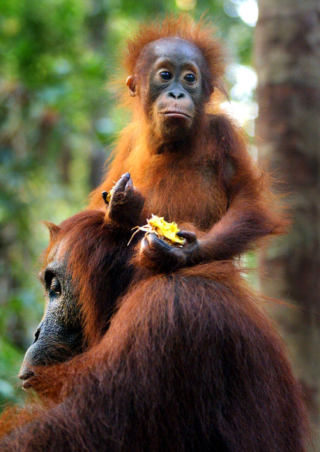 A baby Orangutan sits on the back of it's mother while eating fruit September 1, 2001 near Camp Leakey at the Tanjung Puting National Park in Kalimantan on the island of Borneo, Indonesia. (Photo by Paula Bronstein/Getty Images)