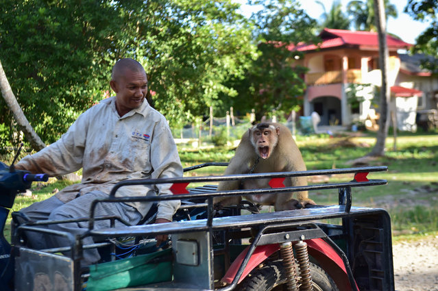 """This photo taken on July 9, 2020 shows a coconut-collecting macaque monkey reacting as he is driven on the sidecar to a motorbike in Berapea village near Narathiwat in southern Thailand. Animal rights campaigner PETA released videos in early July of monkey """"slaves"""" picking coconuts in Thailand, which has led several British retailers to ban the products. Thai coconut farmers have denied mistreating the macaques. (Photo by Madaree Tohlala/AFP Photo)"""