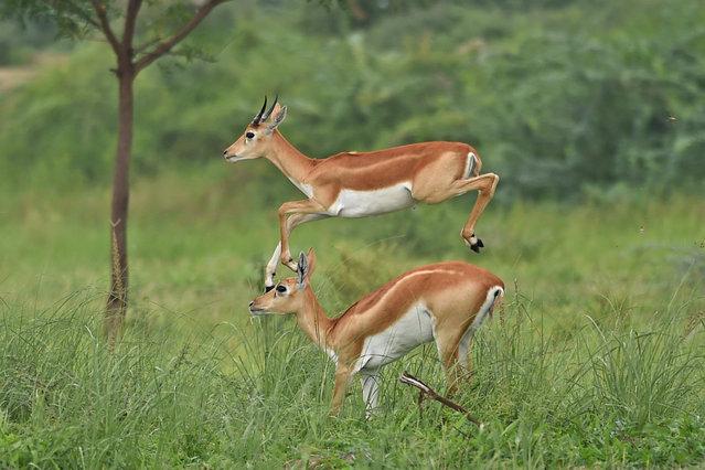 Antelopes run through a field at Kanjari village on the outskirts of Ahmedabad on July 30, 2020. (Photo by Sam Panthaky/AFP Photo)