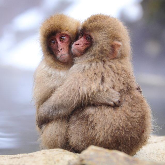 "Love x Love (baby monkeys). Snow monkey at ""Jigokudani hot-spring"" in Nagano, Japan. (Kiyoshi Ookawa)"