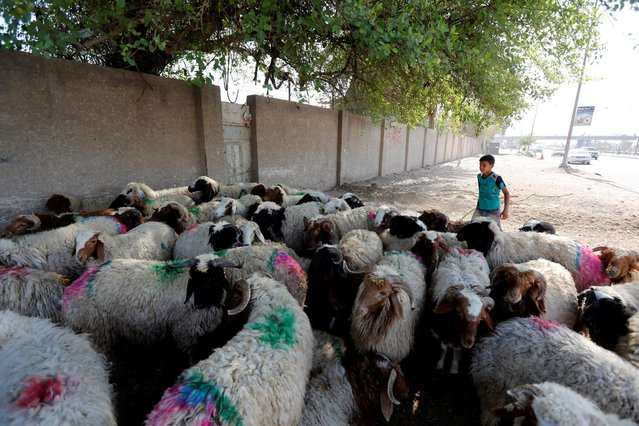 Sheep for sale are herded onto a road ahead of the Muslim festival of Eid al-Adha in Baghdad, Iraq September 12, 2016. (Photo by Ahmed Saad/Reuters)