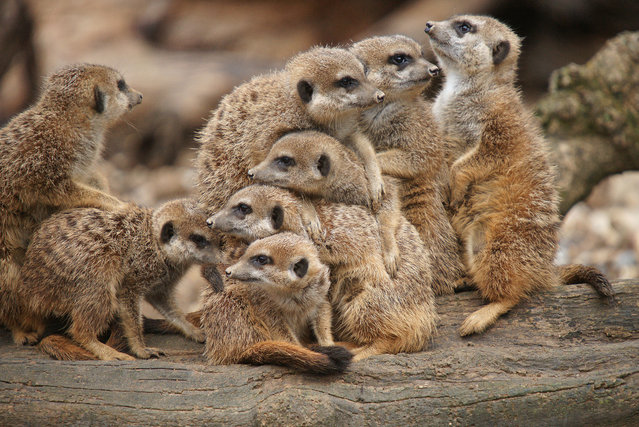 A family of meerkats posed for the camera at Basel Zoo in Switzerland on September 12, 2016. Markus Walti from Basel managed to capture five of the animals posed with their chins resting on each others' heads, piled up on top of each other in a perfectly straight line, all staring intently at him. (Photo by Markus Walti/Mercury Press)