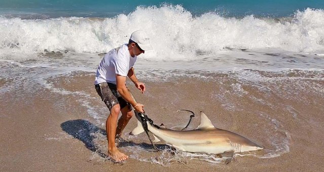 Attaching a rope to its tail, Jorgensen pulls the  shark up onto the beach where researchers can work on it.  (Photo by Lannis Waters/The Palm Beach Post)