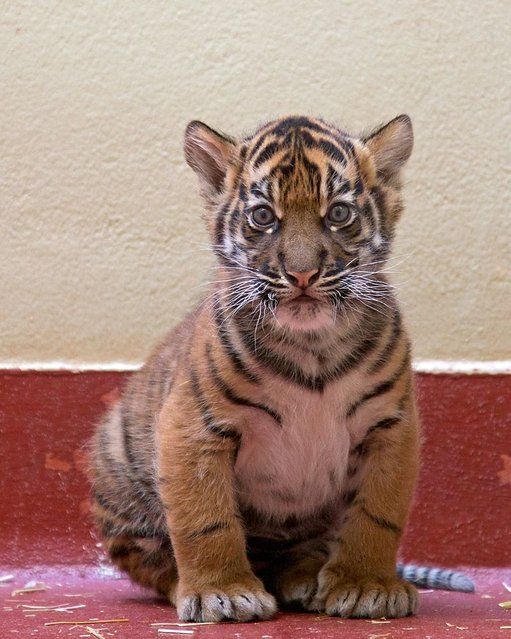 A female Sumatran tiger is examined at the San Francisco Zoo on March 23, 2013. The unnamed cub was born on February 10. (Photo by Marianne V. Hale/San Francisco Zoological Society via EPA)