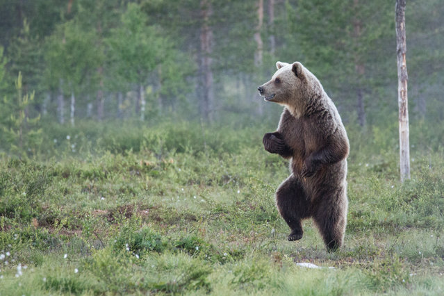A European brown bear dances like nobody is watching in the forests of Finland, June, 2014. (Photo by Alex Jevon/Barcroft Images/Comedy Wildlife Photography Awards 2016)