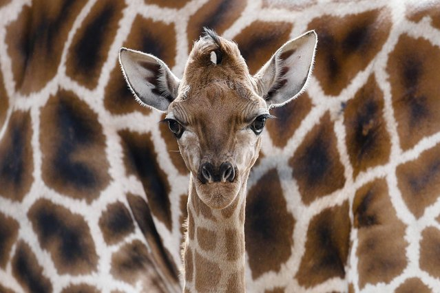 Eric the new born Rothschild giraffe stands in front  the  mother Lotti during its first presentation for public at the Tierpark Zoo in Berlin, Friday, April 19, 2013. (Photo by Markus Schreiber/AP Photo)