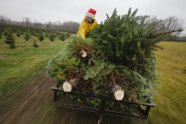 Seasonal worker Michael Biltro holds down a load of freshly cut Christmas trees as they are transported to a prep area at the John T Nieman Nursery, Saturday, November 28, 2015, in Hamilton, Ohio. The fourth generation family farm is home to 60,000 trees that require regular maintenance throughout the year. The family began planting cut-your-own trees in 1987. (Photo by John Minchillo/AP Photo)