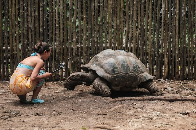 A tourist films an Aldabra giant tortoise with a Go-Pro camera at a conservation compound on Changuu Island, northwest of Zanzibar, Tanzania, on Wednesday, January 21, 2015. The endangered species, some of which live longer than 100 years old, continues to be brought to the island for protection from theft and for better breeding. (Photo by Mosa'ab Elshamy/AP Photo)