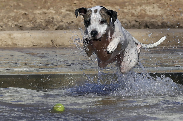 Lady, a mixed-breed rescue dog, sails into the water after a tennis ball at a new dog park near downtown Houston, Tuesday, January 27, 2015. Houston temperatures are in the mid-70's for a beautiful spring-like day. (Photo by Pat Sullivan/AP Photo)