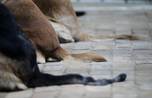 Police dogs sit in a row for rituals to be performed on them during Tihar festival celebrations at a police kennel division in Kathmandu, Nepal, Saturday, October 29, 2016. Dogs are worshipped to acknowledge their role in providing security during Tihar festival, one of the most important Hindu festivals that is also dedicated to the worship of the goddess of wealth Laxmi. (Photo by Niranjan Shrestha/AP Photo)