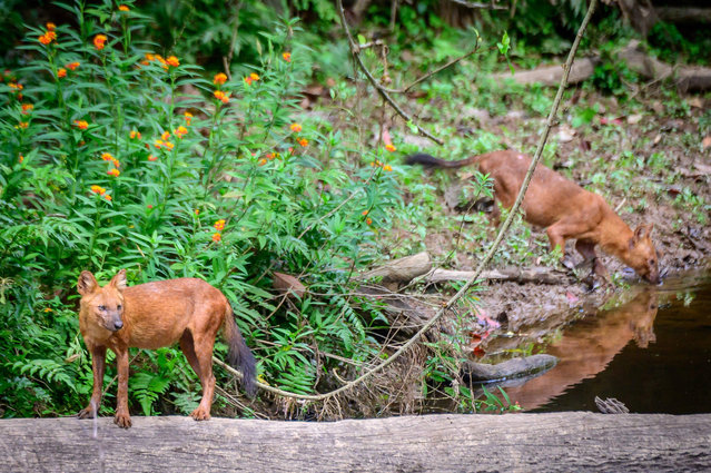 This photograph taken on March 23, 2021 shows two dholes (Asiatic wild dog) in Khao Yai National Park, some 130 kilometers north of Bangkok. (Photo by Mladen Antonov/AFP Photo)