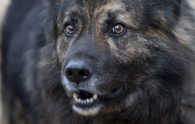 Dog Medo barks in a backyard in Peroj, Croatia, Monday, February 9, 2015. A fed up neighbor from a northern Croatian Adriatic village has won a temporary court order that says Medo must stop barking at night. If not, owner Anton Simunovic must pay some €2,800 ($3,160). (Photo by Darko Bandic/AP Photo)
