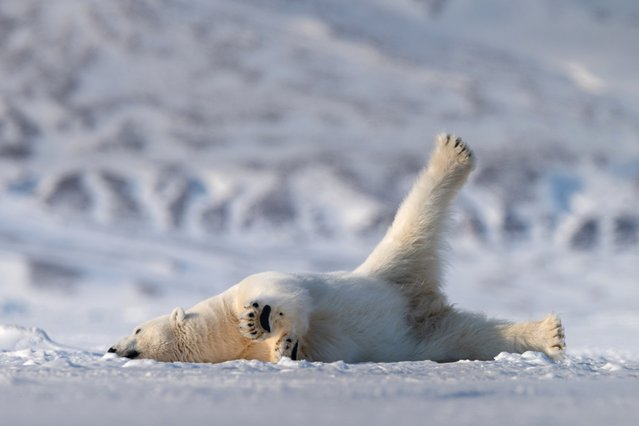 A polar bear lounges in the snow, September 2018. (Photo by Roie Galitz/Barcroft Images/Comedy Wildlife Photography Awards)