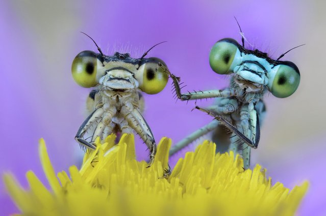 These vividly coloured damselflies show they are best buddies, looking like they're holding hands as they cuddle up on a flower, on October 1, 2013. (Photo by Alberto Ghizzi Panizza/Solent News & Photo Agency)