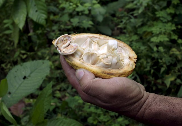 A farmer holds a cocoa pod for the camera in a plantation at the San Miguel farm in Matagalpa, Nicaragua January 8, 2016. (Photo by Oswaldo Rivas/Reuters)