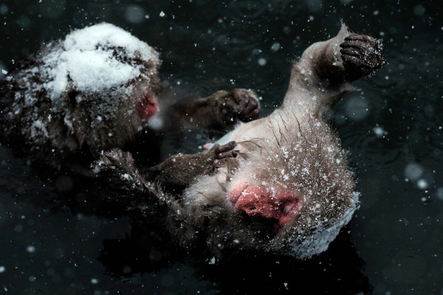"""Japanese wild monkeys known as """"snow monkeys"""" groom each other in a hot spring at the Jigokudani Wild Monkey Park in Yamanouchi town, Nagano prefecture, Japan on January 18, 2016. The park attracts more foreign tourists every year and the number of visitors has increased about 20 percent compared to the same period of the last year. (Photo by Yasuyoshi Chiba/AFP Photo)"""