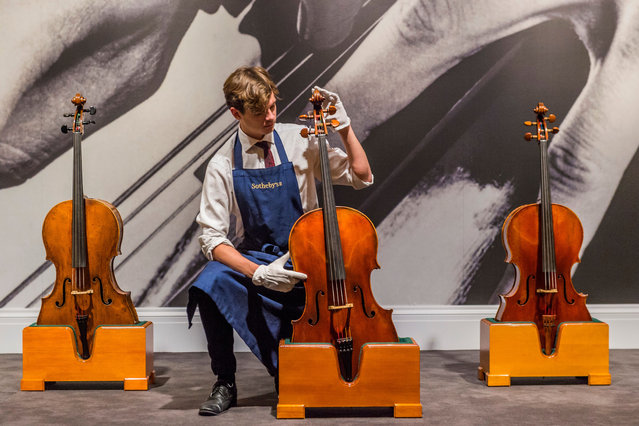 An assistant adjusts a Giovanni Battista Guadagnini cello made in Turin in 1783 which is part of the Rostropovich collection at Sothebys in London, England on November 23, 2018. (Photo by Guy Bell/Rex FeaturesX/Shutterstock)