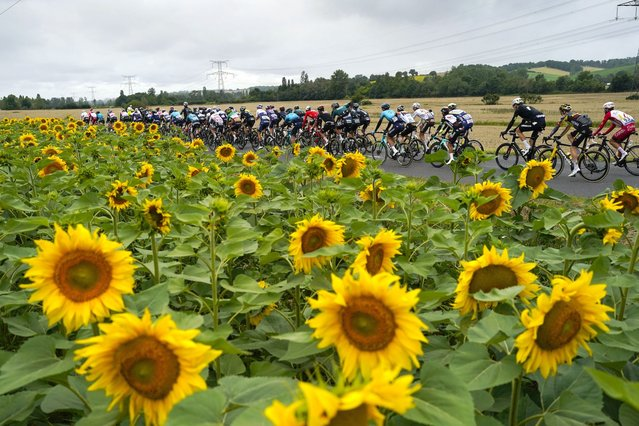 The peloton passes a field with sunflowers during the seventeenth stage of the Tour de France cycling race over 178.4 kilometers (110.9 miles) with start in Muret and finish in Saint-Lary-Soulan Col du Portet, France, Wednesday, July 14, 2021. (Photo by Daniel Cole/AP Photo)