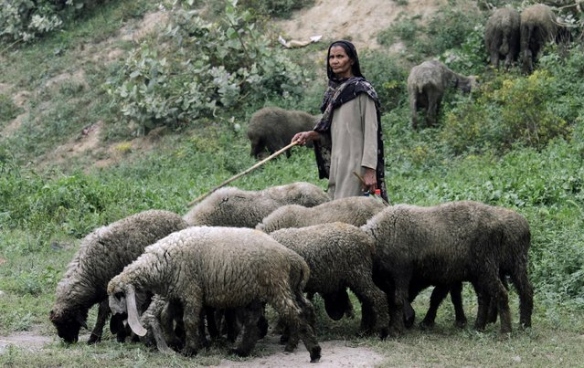Pakistani woman Hira Bibi shepherds her herd in Lahore, Pakistan, Wednesday, April 1, 2015. (Photo by K. M. Chaudary/AP Photo)
