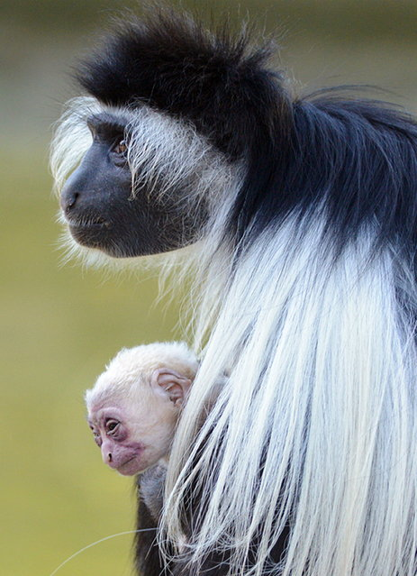 "This photo provided by the Lowry Park Zoo, shows ""August"", a female Angolan Colobus monkey, holding her newborn offspring, Tuesday, February 4, 2014, in Tampa, Fla. The baby was born earlier today. Colobus monkeys share the responsibility of caring for the young with other females in the group. (Photo by AP Photo/Lowry Park Zoo)"