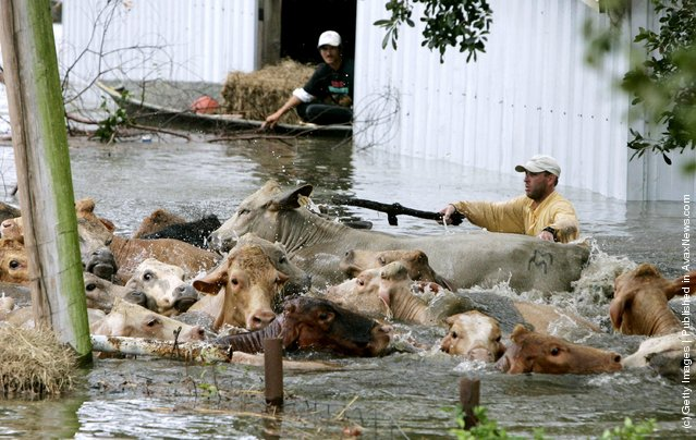 Wranglers guide a herd of stranded cows to higher ground as flood waters rise, due to a levy break September 24, 2005 in Chauvin, Louisiana