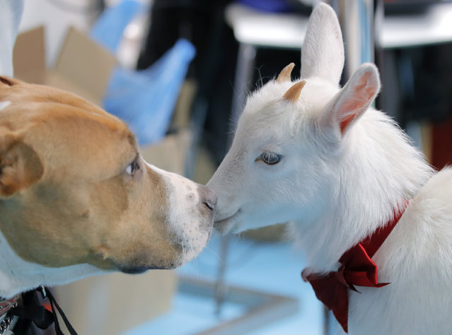 A baby goat touches noses with a dog at the Pet Expo 2019, a pet show in Bucharest, Romania, Saturday, April 13, 2019. According to organisers, the pet show attracts more than 10 thousand visitors every year. (Photo by Vadim Ghirda/AP Photo)