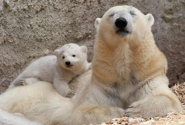 One of the 14 week-old twin polar bear babies rests with her mother Giovanna during their first presentation to the media in Hellabrunn zoo on March 19, 2014 in Munich, Germany. (Photo by Alexandra Beier/Getty Images)