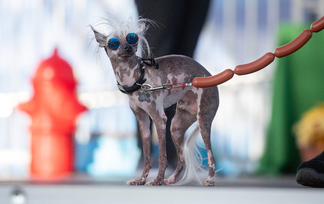 Rascal Deux, a naturally hairless mix with a crooked face, two different colored eyes and a loose tongue, walks the stage during the World's Ugliest Dog Competition in Petaluma, California on June 21, 2019. (Photo by Josh Edelson/AFP Photo)