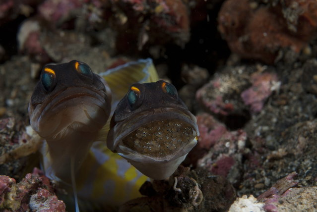2014 Underwater Photography Photo Contest winners, Macro Swimming category, 3rd place. (Photo by Uwe Schmolke/UnderwaterPhotography.com)