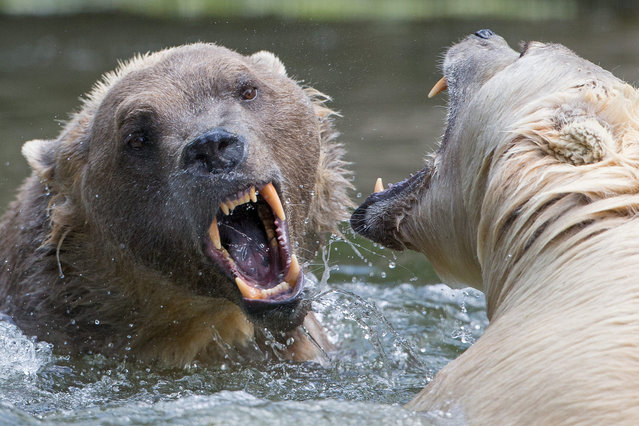 A picture made available on 15 June 2015 shows hybrid bears Tips (R) and her brother Taps at the Osnabrueck Zoo, in Osnabrueck, Germany, 11 June 2015. Hybrid bears (also known as Cappuccino-Bears) are a mix of polar bear and grizzly bear and are also called nanulak, pizzly bear, grolar bear and a variety of other names. (Photo by Friso Gentsch/EPA)