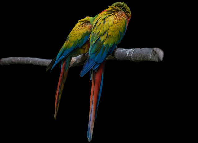 A Blue and yellow macaw (Ara Ararauna) rescue from ilegal trafficking is seen at Santa Cruz Foundation on San Antonio, Cundinamarca, Colombia on August 2, 2019. This animals are been rescued from the Ilegal trafficking, the fourth-largest industry in Colombia, after drugs, guns and human trafficking, based primarily on the trade of live monkeys, turtles and reptiles, is now worth $17 million dollars each year. Colombia is one of the most biodiversity country. One in seven of all species on Earth can be found within the country, including 467 different types of mammals, 1,768 birds, 609 amphibians and 475 reptiles. (Photo by Juancho Torres/Anadolu Agency via Getty Images)