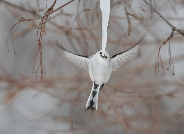 On a bitterly cold morning on the Japanese island of Hokkaido, a flock of long-tailed tits and marsh tits were gathered around a long icicle hanging from a branch, taking turns to nibble the tip. Here, a Hokkaido long-tailed tit hovers for a split second to take its turn to nip off a beakful. (Behaviour: birds category). (Photo by Diana Rebman)