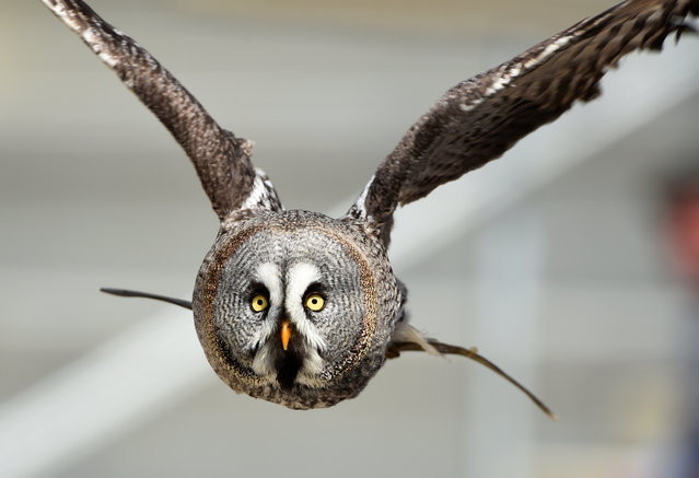 An owl flies during a performance at the Zooparc de Beauval in Saint-Aignan, central France, on April 14, 2017. (Photo by Guillaume Souvant/AFP Photo)