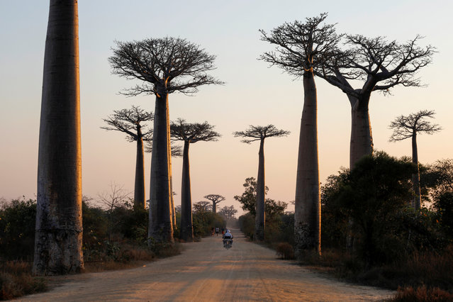 A motorcycle drives between Baobab trees at Baobab alley near the city of Morondava, Madagascar, August 30, 2019. (Photo by Baz Ratner/Reuters)