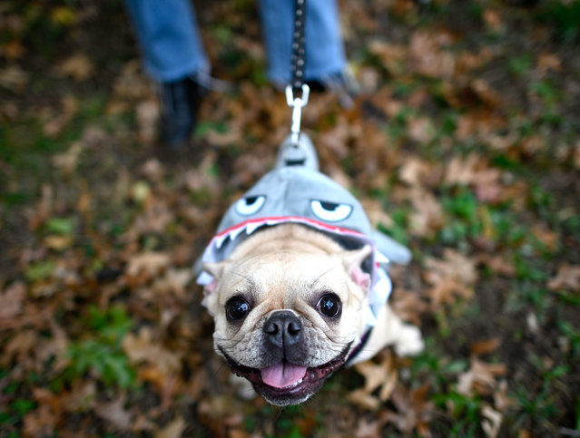 A dog dressed in a shark costume attends the Tompkins Square Halloween Dog Parade in Manhattan in New York City on October 20, 2019. (Photo by Johannes Eisele/AFP Photo)