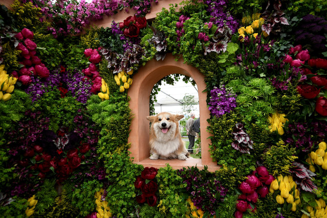 """Marcel """"Le Corgi"""" perches his paws on a display at the Royal Horticultural Society's Chelsea Flower show in London, Britain, May 22, 2017. (Photo by Dylan Martinez/Reuters)"""