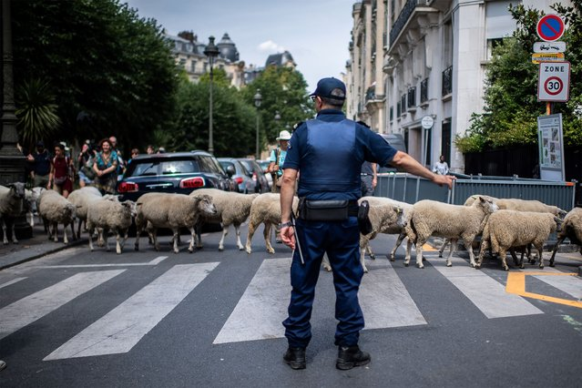 A policeman stands at a pedestrian passage as sheep cross the street during an urban transhumance in Paris on July, 17 2019. The shepherds of Seine-Saint-Denis and their herd begin on July 6, 2019 eleven days of transhumance, from the basilica of Saint-Denis to the center of Paris. (Photo by Martin Bureau/AFP Photo)