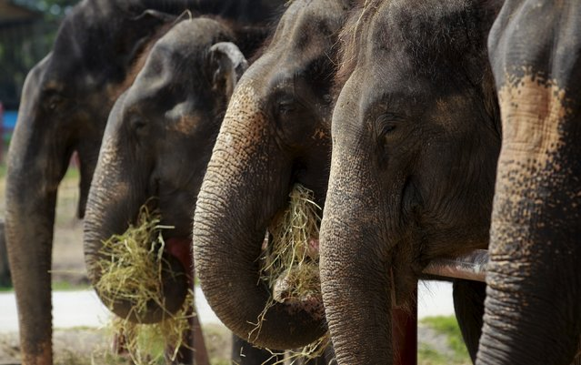 Elephants eat straw at a camp in the ancient Thai capital Ayutthaya, north of Bangkok, Thailand, August 11, 2015. Thailand celebrates World Elephant Day on August 12, an annual event held to raise awareness about elephant conservation. (Photo by Chaiwat Subprasom/Reuters)