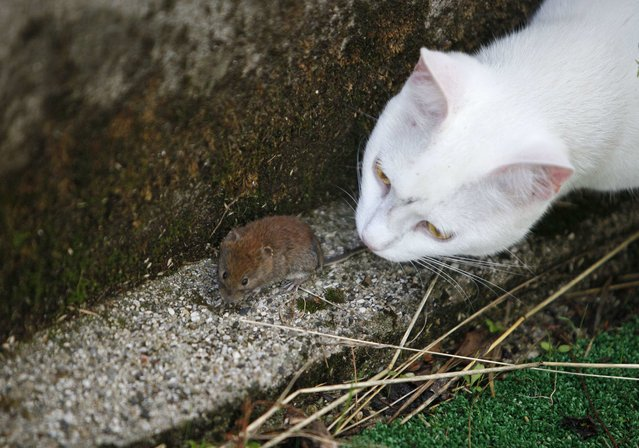 A cat plays with mouse in a courtyard in Medvode July 16, 2014. (Photo by Srdjan Zivulovic/Reuters)