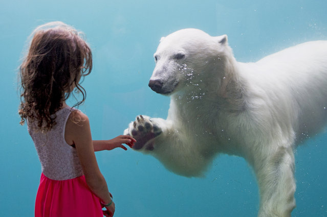 A girl meets a polar bear at Blijdorp zoo in Rotterdam, Netherlands on July 7, 2016. (Photo by Action Press/Rex Features/Shutterstock)