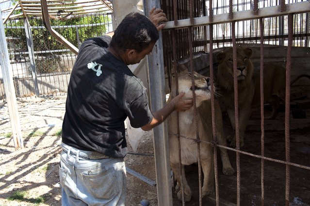 Farid al-Hissi scratches the neck of the lioness from outside the cage housing her and a Lion at the Bisan City tourist village zoo, in Beit Hanun on August 14, 2014. The zoo, part of Al-Bisan City, was built by the Hamas government in 2008 as a tourist village, but is now far from relaxing, with the wire of its enclosures twisted and crushed after the strikes, debris and dead animals strewn around, and the remains of militant rocket launchers lying nearby. (Photo by Roberto Schmidt/AFP Photo)