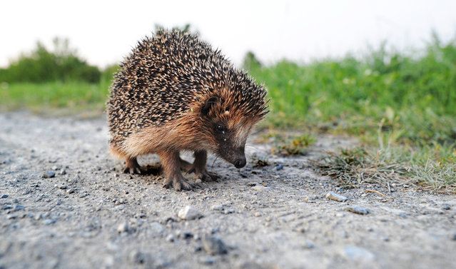 A hedgehog sits on a track near Hanover-Wuelferode, central Germany, on August 12, 2012. To protect their body, hedgehogs have around 5,000 spines on average. (Photo by Julian Stratenschulte/AFP)