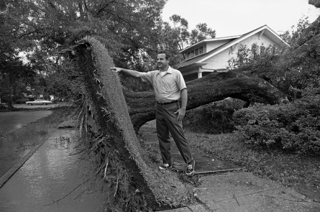 Charles Albritton looks at a large square of sod that was neatly pulled up when an oak tree was uprooted by Hurricane Edith at Crowley, La., on Thursday, September 16, 1971. Damage at Crowley was limited mostly to trees and utility lines. (Photo by Jack Thornell/AP Photo)