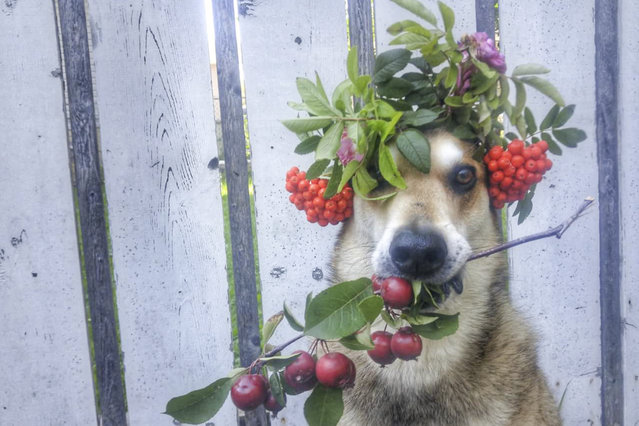 Toby balances flowers and fruit. (Photo by Pat Langer/Caters News Agency)